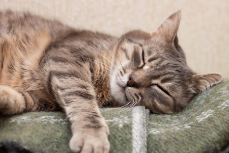 Cute sleeping gray domestic cat closeup portrait Stock Photo - 24904365