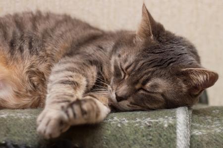 Cute sleeping gray domestic cat closeup portrait Stock Photo - 24904366