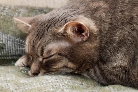Cute sleeping gray domestic cat closeup portrait Stock Photo - 24904368