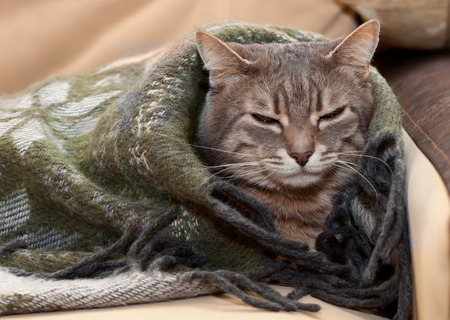 portrait home tabby gray cat resting in a blanket photo