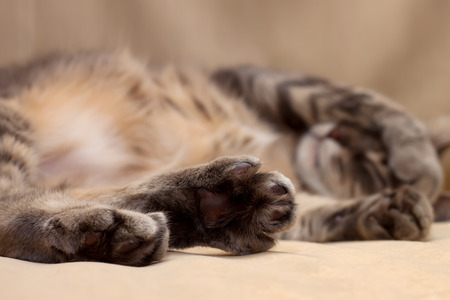 Cute sleeping gray domestic cat closeup portrait Stock Photo - 26582877