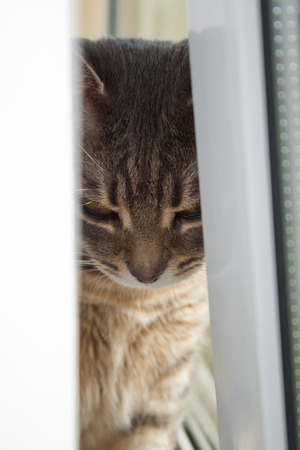gray tabby: Portrait of gray tabby domestic cat closeup Stock Photo