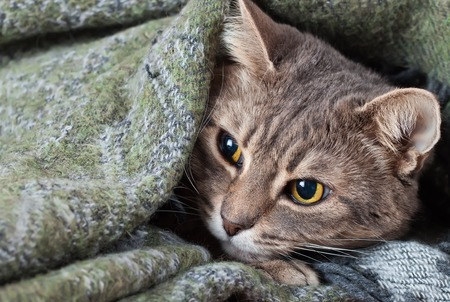 pet cat: portrait home tabby gray cat resting in a blanket