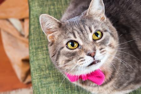 moño rosa: gato doméstico gris atigrado con el arco rosado mira a la cámara