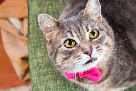 housecat: Tabby gray housecat with pink bow looks at camera Stock Photo