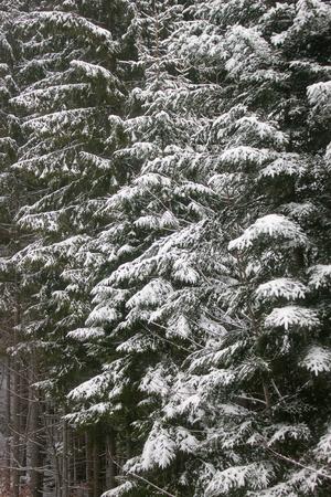 De groene vuren boom bedekt met sneeuw. Winterlandschap.