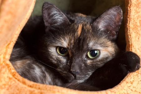 cute domestic tricolor black cat resting in a cat's house. portrait of an animal close up. Stockfoto - 97802681