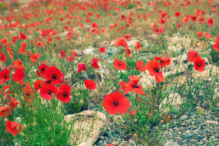 placer of wild red poppies on a stone soil. shallow depth of field. Stockfoto - 99082710