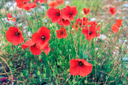 placer of wild red poppies on a stone soil. shallow depth of field. Stockfoto - 99050253