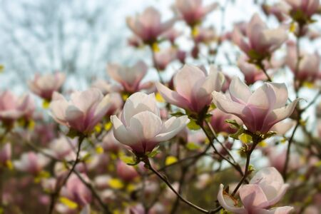 Beautiful pink magnolia branch tree blooming in the spring Stockfoto