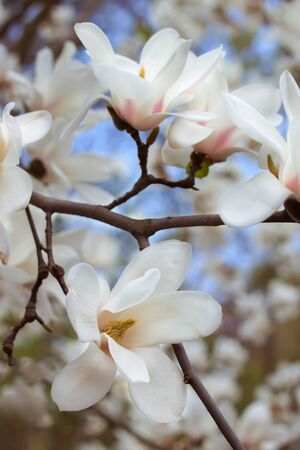 Beautiful white magnolia branch tree blooming in the spring