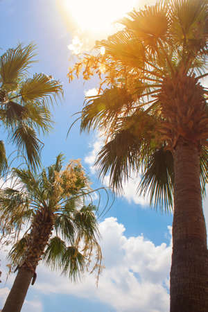 Green palm tree on blue sky and white clouds background. horizontal photo. Stockfoto