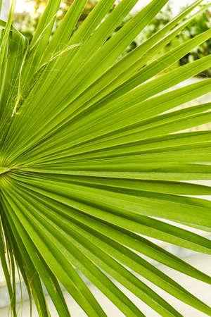 Green leaf of Washington palm close up. Summer tropical background