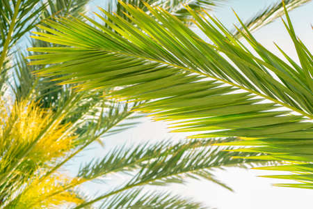 Bright green palm leaves against sunny blue sky, coconut tree. Summer tropical exotic background