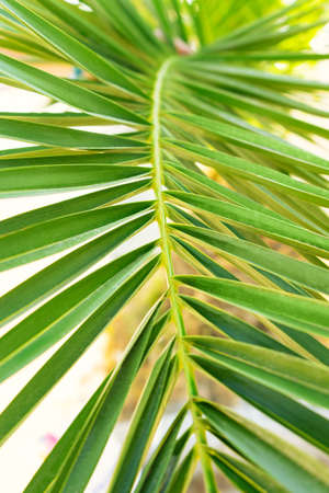 Green leaf of palm close up. Summer tropical background