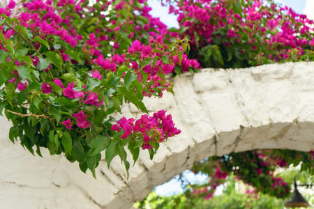 Pink flowers of blooming bougainvillea on white brick arch wall. Summer floral background. Stock Photo