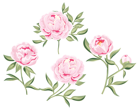 stock photo of tender pink peony. peonies set of hand drawn Botanical illustration of realistic isolated objects on white. vector illustration