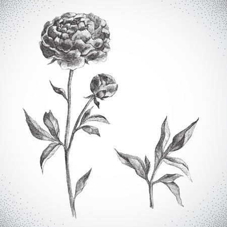 camellia: Flower. Black and white Dotwork. Vintage engraved illustration style