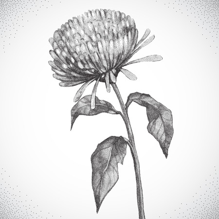 aster: Flower. Black and white Dotwork. Vintage engraved illustration style