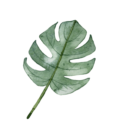 Watercolor green tropical Monstera leaf isolated on white background.