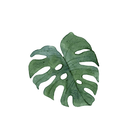 Watercolor green tropical monstera leaf isolated on white background.Exotic leaf.