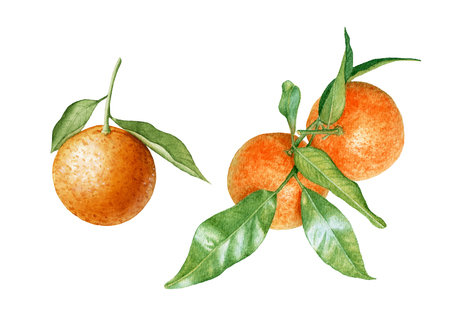 Watercolor juicy, ripe tangerines with leaves isolated on white background. Orange branch. Tropical, sweet fruit.