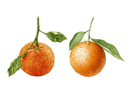 Watercolor juicy, ripe tangerines with leaves isolated on white background. Tropical, sweet fruit. Archivio Fotografico