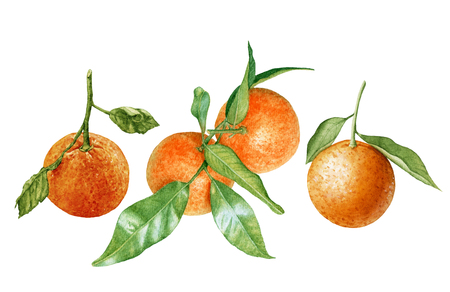 Watercolor fresh, juicy. ripe tangerines with leaves isolated on white background. Orange branch. Tropical fruit.