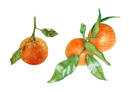 Watercolor ripe, fresh, juicy tangerines with leaves isolated on white background. Tropical fruit. Archivio Fotografico