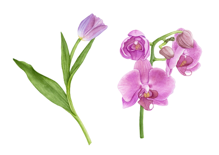Watercolor purple tulip with leaves, pink orchid flowers isolated on white background. Archivio Fotografico