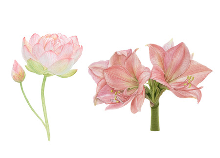 Watercolor flowers isolated on white background. Pink lotus, amaryllis.
