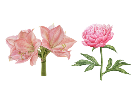 Watercolor beautiful, exotic flowers, pink flowers isolated on white background. Amaryllis, pink peony.