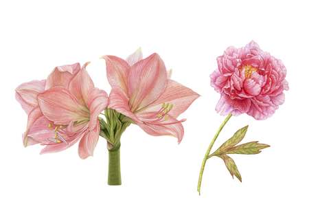 Watercolor pink flowers isolated on white background. Peony, amaryllis. Archivio Fotografico