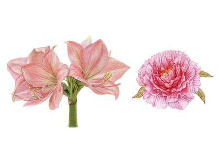 Watercolor beautiful, pink flowers. Peony, amaryllis isolated on white background. Archivio Fotografico