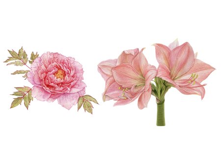 Watercolor beautiful, pink flowers isolated on white background. Peony, amaryllis. Archivio Fotografico