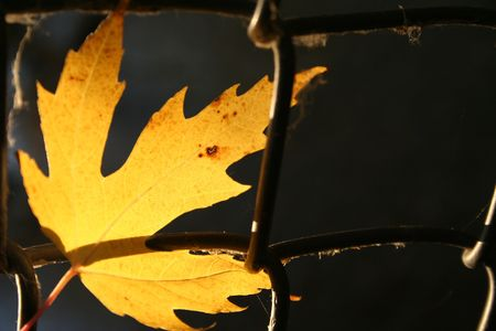 glimpse: Golden leaf caught in chain link with kight shining through.