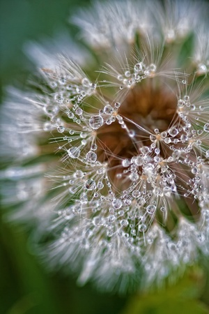 dandelion wet with dew Stock Photo - 11296895