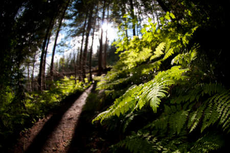 Light In Forest With Ferns And Trail In Pacific Northwest Stock Photo