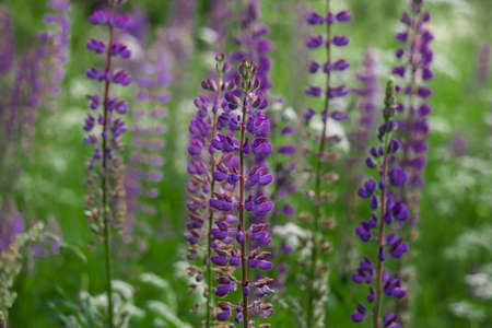 lupine: fields of purple lupine