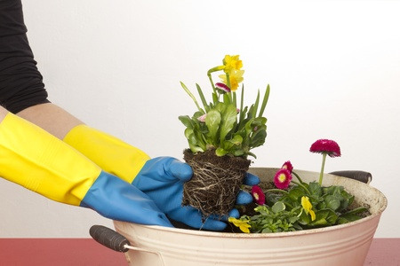 Female hands potting daffidi on photo