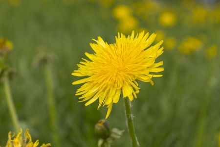 Blossoming Dandelions on a meadow photo