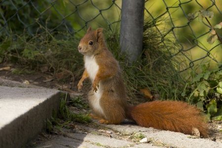 Eurasian red squirrel in nature