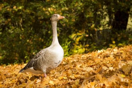 Wild goose on golden leaves in autumn