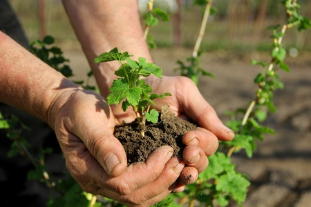 Hands holding seedling photo