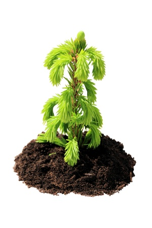 young green sapling fir, pine Stock Photo - 9814967