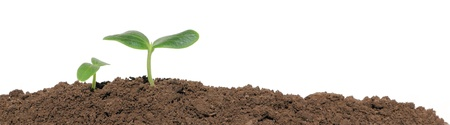 A cucumber seedling in the ground, isolated photo