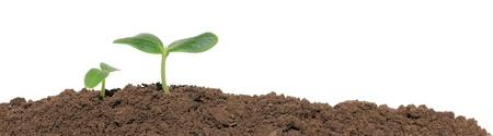 sustentabilidad: Un plant�n de pepino en el suelo, aislado Foto de archivo