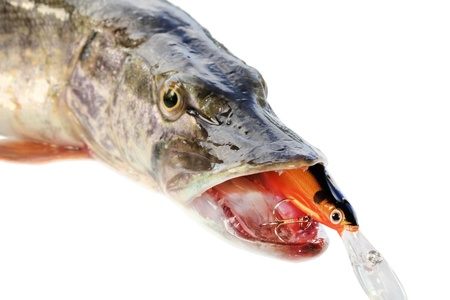 wobbler: jaws of a pike on a white background with wobbler, isolated