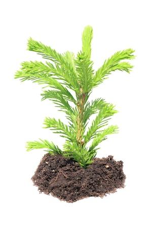 plantando un arbol: verde joven reto�o de abeto, pino Foto de archivo