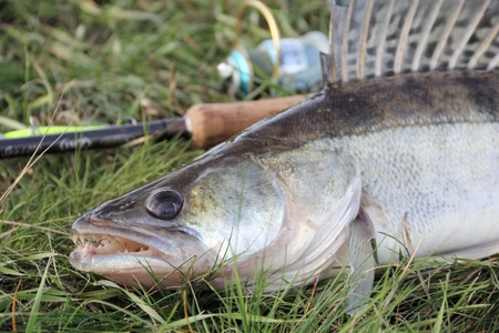 zander: fishing catch on the grass and fishing gear